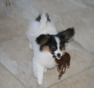 Papillon Rescue Ny State